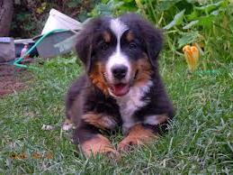 Бернский зенненхунд  домашняя собака